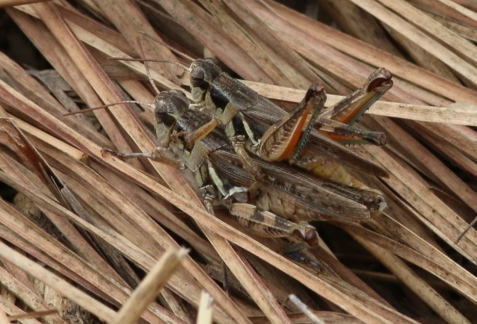 These appear to be narrow-winged grasshoppers, Melanoplus angustipennis.