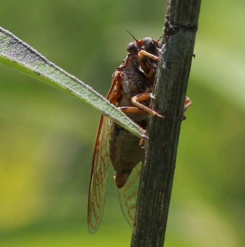 Here's another West Chicago Prairie cicada, singing from a dead stem.
