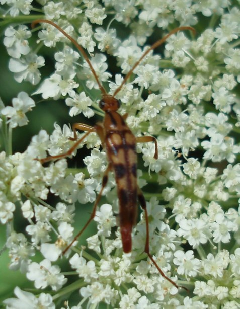 Queen Anne's lace is blooming, and on Friday it pointed me to two arthropods new to the Mayslake list. This one has a name I like: Strangalia luteicornis. It is a woods-edge long-horned beetle whose larvae bore into woody plants including grape vines.
