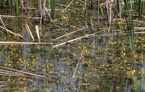 The parking lot marsh surprised me last week with an array of a plant new to the preserve. This is an aquatic buttercup, the yellow water crowfoot.