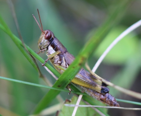 This may be a post oak grasshopper, Dendrotettix quercus. I found it in a dry oak savanna. Superficially it resembles the previous, but note the different wings.