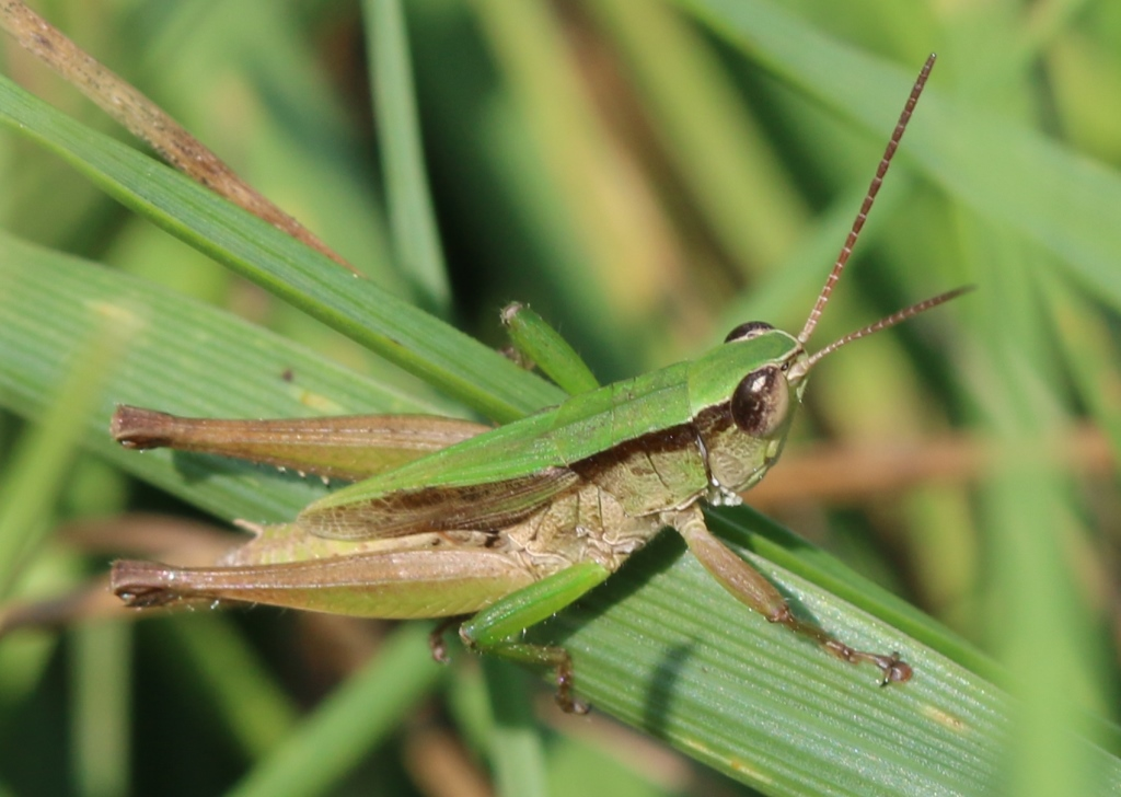 short-winged green grasshopper | Nature Inquiries