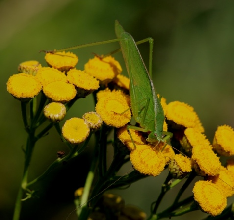 Within minutes of arriving at the first site, Elizabeth Lake, I spotted this bush katydid feeding on a tansy flower head.