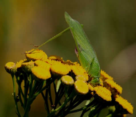 The small body size, and the shape of the ovipositor, identified this female as a fork-tailed bush katydid.