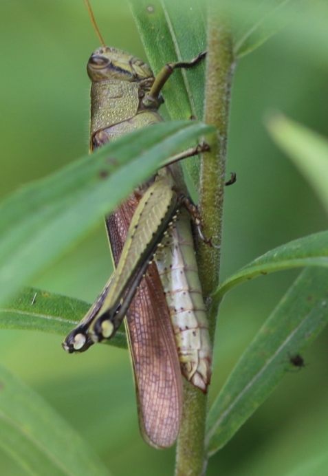 This appears to be the obscure bird grasshopper, common in places at the Jasper-Pulaski wildlife area but at or near the north end of its range.