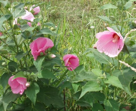 Swamp rose mallow is hard to miss.