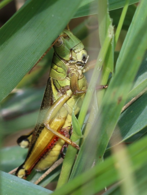 After poring through many reference photos, I had to conclude that this was a two-striped grasshopper. If I had looked at its back, I wouldn't have needed to go to the trouble.