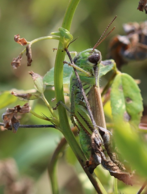 This grasshopper, like the previous one, didn't give me a dorsal view, but I'm pretty sure it's another two-striped.