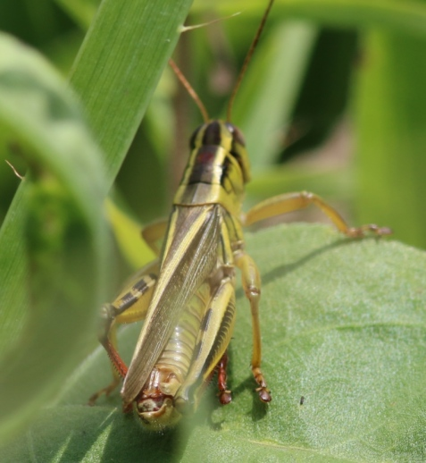 This view shows how the grasshopper got its name. Notice the bright red tibias.