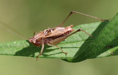 A male woodland meadow katydid!