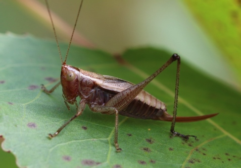 Though the ovipositor is slightly curved, the small size as well as the brown color separates this female from all the Orchelimum meadow katydids. Long-tailed meadow katydids can be brown, but have very long straight ovipositors and live in wetlands.