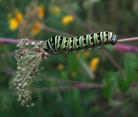 This black swallowtail is maturing on a diet of water hemlock, a plant that is quite poisonous to humans.