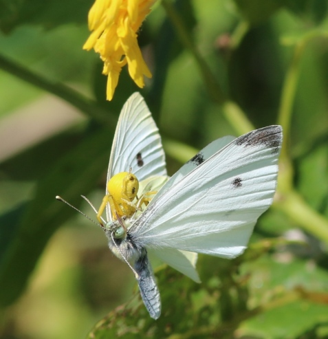 The yellow flower head of the sow thistle had been a good hiding place for a crab spider. It and its prey dangled from the spider's safety line until the butterfly was subdued.