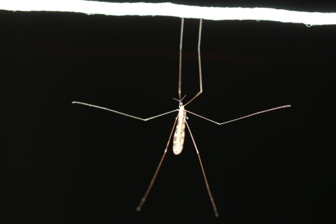 This was a crane fly that got hung up on a support rope, not a hangingfly, as some of us hoped at first glance. The hangingflies are a group of scorpion flies.