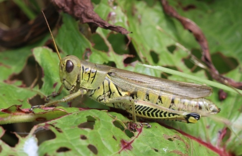 I'll close out with another, more widespread species, the differential grasshopper.
