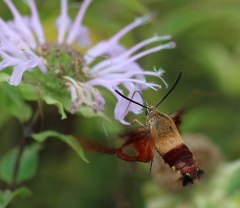 A hummingbird clearwing bellies up to the bar.