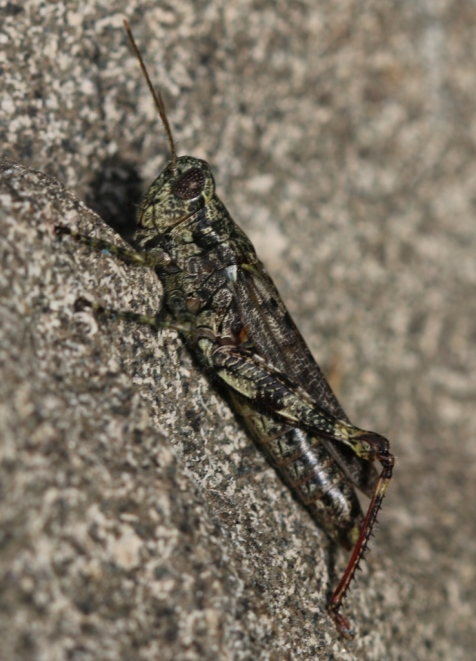 "This pine tree spur-throated grasshopper came to the light, and I saved it to photograph the next day. The species proved to be common in the groves of white pines which have been planted in the park to spell out ""STUDEBAKER"" in very large block letters that can be read only from the sky."