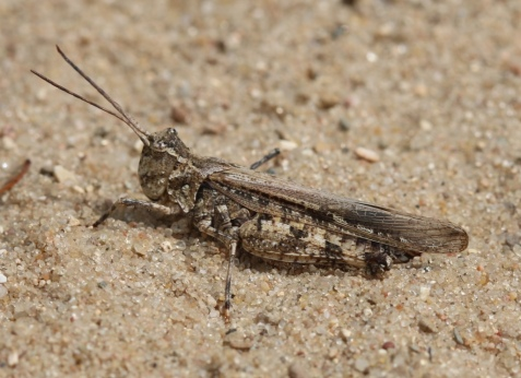 This is the longhorn band-winged grasshopper, Psinidia fenestralis.