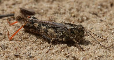The medium sized one was the mottled sand grasshopper, which I mentioned in a recent post on Jasper County.