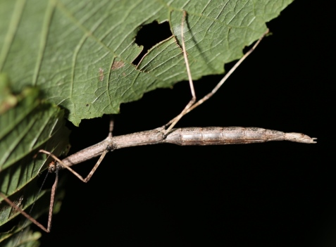 This female walking stick, Diapheromera femorata, was nearly 4 inches long.