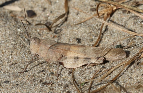 Boll's is in the same genus, Spharagemon, as the mottled sand grasshopper.