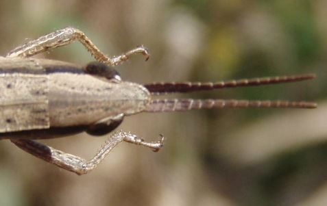 Note the oval-shaped area on top of the head in front of the eyes, and the sword-shaped antennae, the basal portion broad and somewhat flattened, the tip more rounded. Those proved to be diagnostic features.