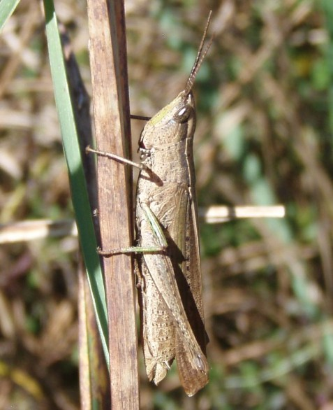 This was the clipped-wing grasshopper, Metaleptea brevicornis. Note the end of the wing, which gives the species its common name.
