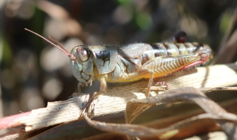 This is Dawson's grasshopper, not a singing species (as you might guess from the dinky wings).