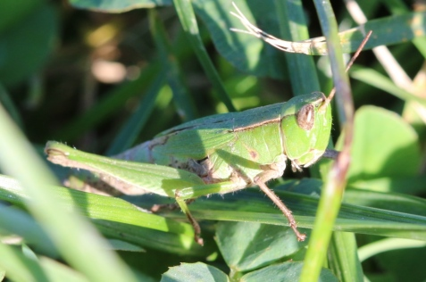 This female short-winged green grasshopper was a county record.