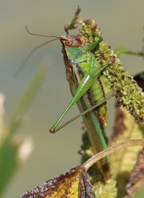 Of all things, it was a dusky-faced meadow katydid.