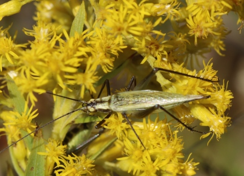 This Forbes's tree cricket was one of the three. It was perhaps the darkest individual I have seen in Illinois, and more typical of the Indiana coloration in my experience.