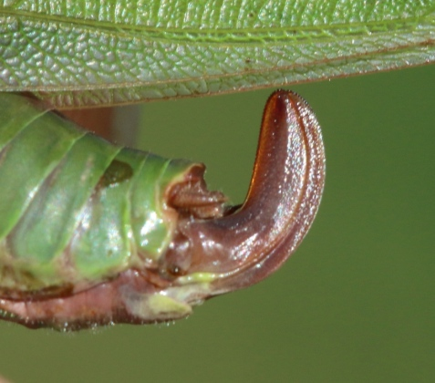 The kinked shape of the ovipositor's dorsal edge, along with the insect's small size, assured the identification. Note the teeth around the tip, used when cutting into plant tissue for egg laying.