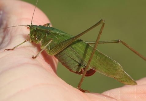This female fork-tailed bush katydid was my first of that species for Pulaski County.