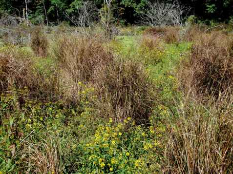 The near bog-like soft soil called for hip boots, and slow careful stepping among the bunch grasses and showy Bidens.