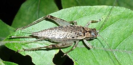 Jumping bush cricket