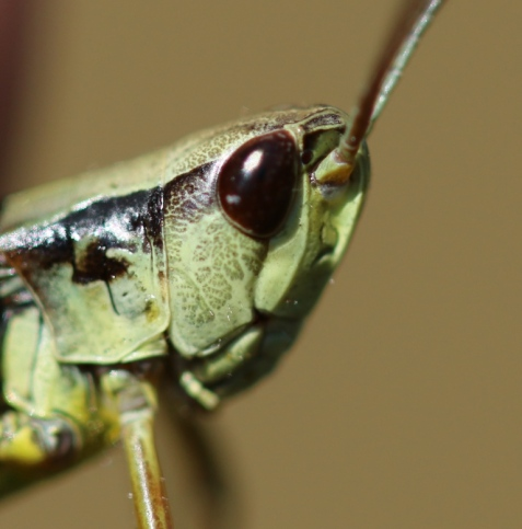 The marsh meadow grasshopper provides yet another variation in the structural beauty of grasshoppers. The little rectangular shape above the antennae is one of the diagnostic features of this species.