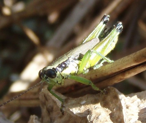 This marsh meadow grasshopper had shorter wings than the one I photographed at the magic swale.