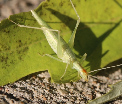 The color spot seemed confined to the head. Could this be a Davis's tree cricket?