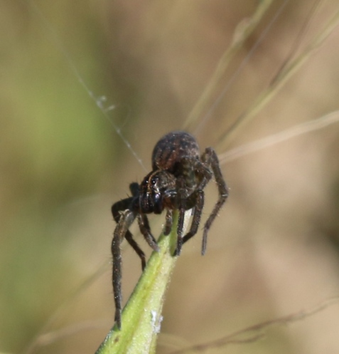 The spider had landed on a stalk, and paused long enough for me to get some photos. I haven't had time yet to try for an ID.