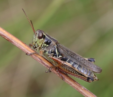 Here is a red-legged grasshopper female. Female grasshoppers have pointed abdomen tips, formed from the valves of the ovipositor.