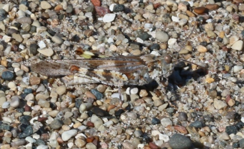 Here is one of the Illinois Beach State Park hoppers.