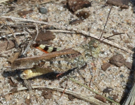 The larger grasshopper was the by now familiar mottled sand grasshopper. These, like the seaside grasshoppers, were browner than their conspecifics in Indiana.