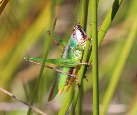 Stripe-faced meadow katydids!