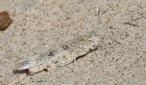 And here is one from Indiana Dunes. Same species, different substrate, a nice study in natural selection.