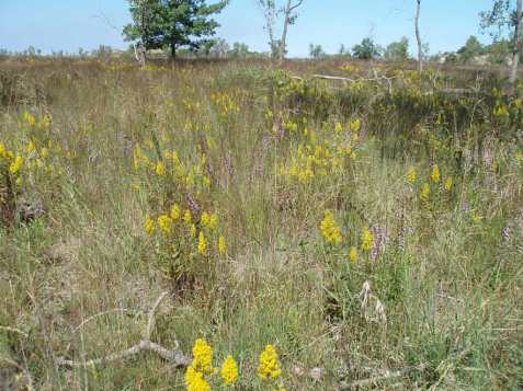 Behind the beach is a beautiful sand prairie with plenty of blazing stars and showy goldenrods.