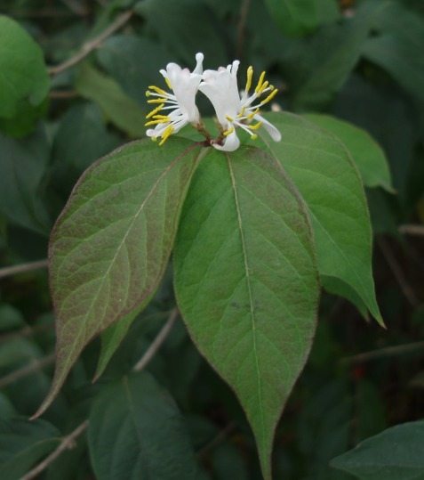 This Amur honeysuckle opened a few flowers on November 4. May and June are the usual blooming months for that species.