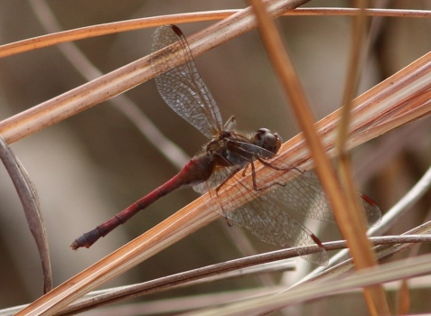 The autumn meadowhawk is well named, but few are able to remain active into November.