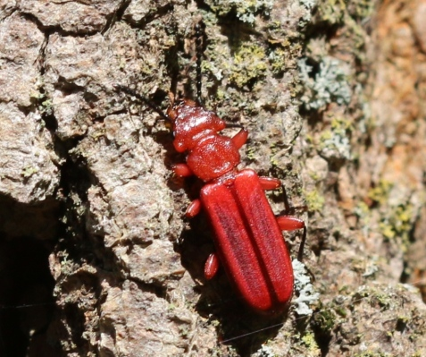 This is the red flat bark beetle, with the musical scientific name Cucujus clavipes.