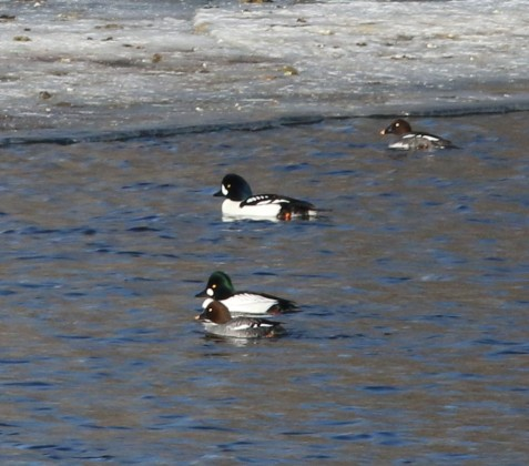 Male Barrow's goldeneye with a pair and female of common goldeneyes