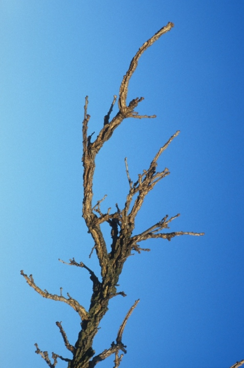Bur oak twig showing the thickened bark, an adaptation that provides some protection from fire.